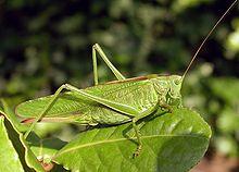 High Resolution Wallpaper | Grasshopper 220x158 px