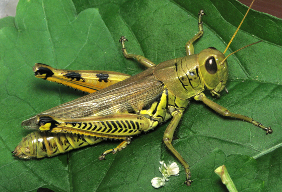 HD Quality Wallpaper | Collection: Animal, 560x383 Grasshopper