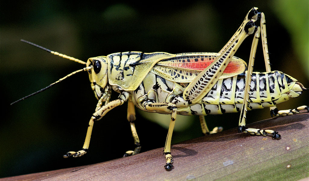 Grasshopper High Quality Background on Wallpapers Vista