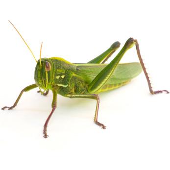 Grasshopper Backgrounds on Wallpapers Vista