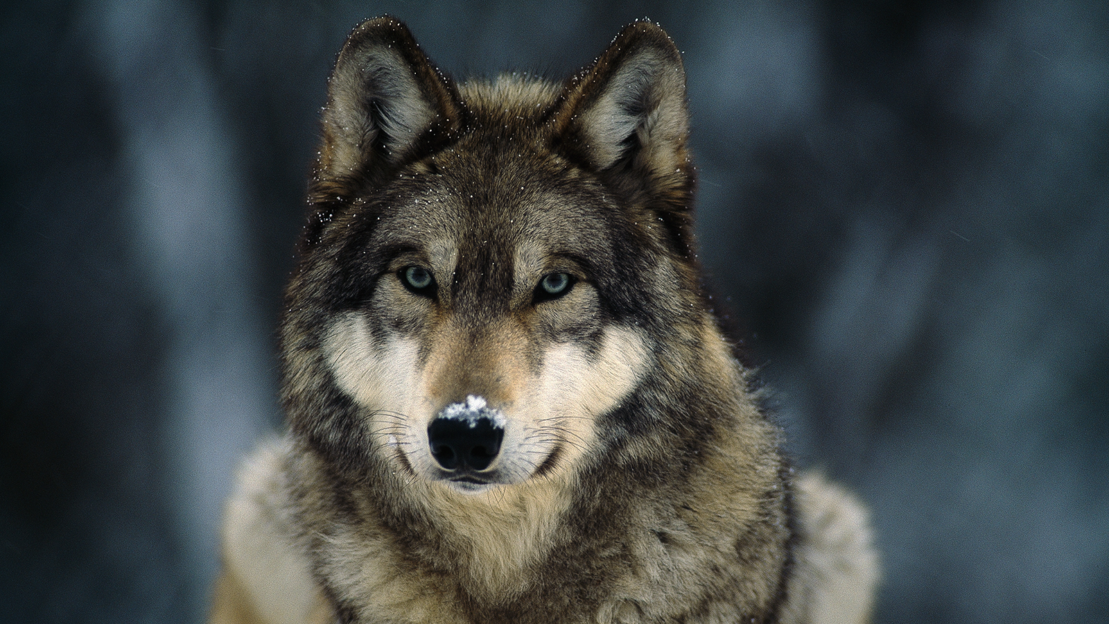 HD Quality Wallpaper | Collection: Animal, 1600x900 Gray Wolf
