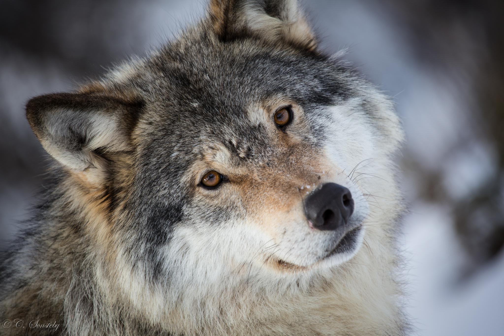 HQ Gray Wolf Wallpapers | File 383Kb