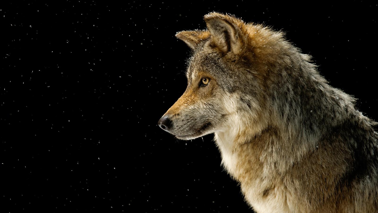 High Resolution Wallpaper | Gray Wolf 1600x900 px