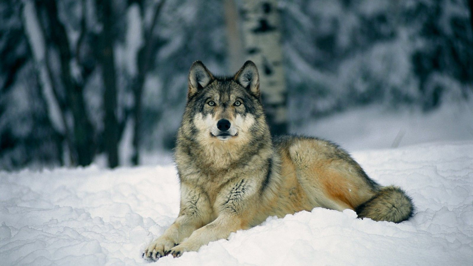 Gray Wolf Backgrounds, Compatible - PC, Mobile, Gadgets| 1600x900 px