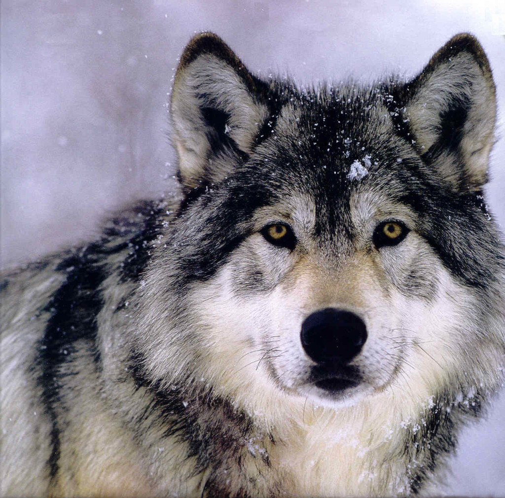 Gray Wolf Backgrounds, Compatible - PC, Mobile, Gadgets| 1024x1010 px