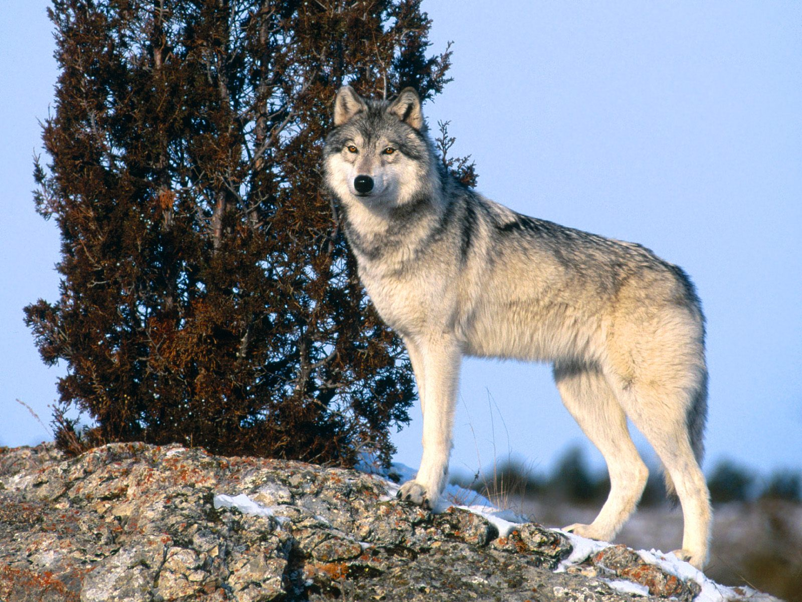 Gray Wolf High Quality Background on Wallpapers Vista