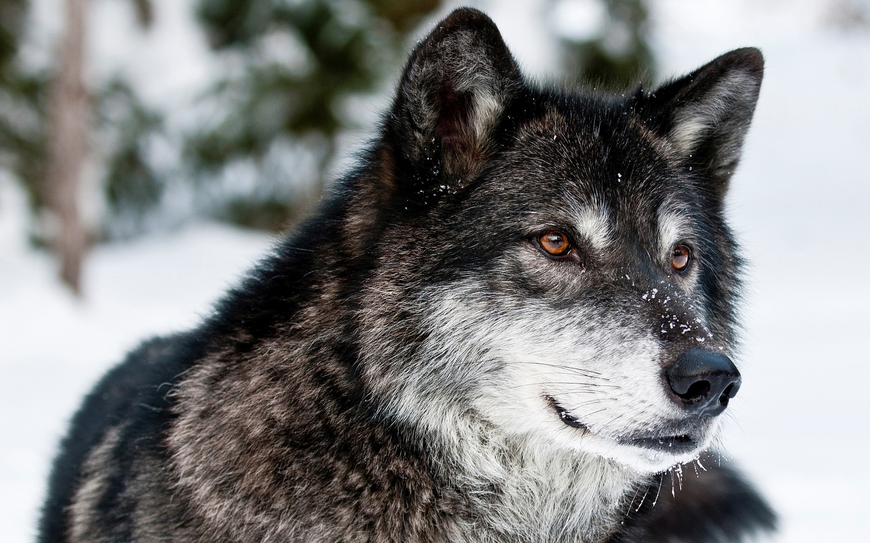 HQ Gray Wolf Wallpapers | File 1220.97Kb