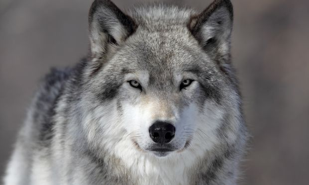 HQ Gray Wolf Wallpapers | File 30.09Kb