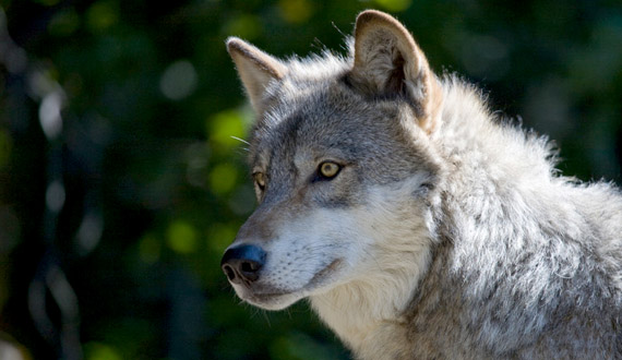 570x330 > Gray Wolf Wallpapers