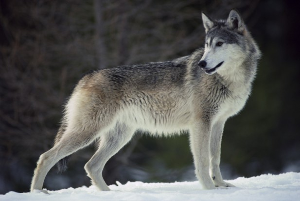 HQ Gray Wolf Wallpapers | File 44.95Kb