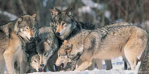 Nice wallpapers Gray Wolf 479x238px