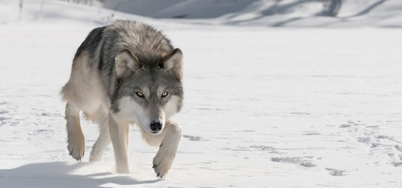 Nice wallpapers Gray Wolf 1280x600px
