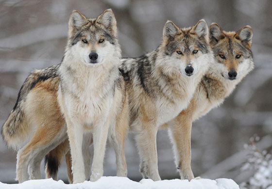 Gray Wolf Backgrounds, Compatible - PC, Mobile, Gadgets| 560x390 px