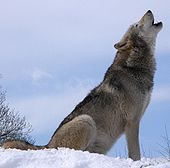 Gray Wolf Backgrounds on Wallpapers Vista