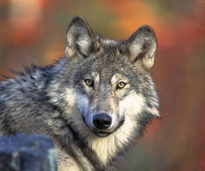 Amazing Gray Wolf Pictures & Backgrounds