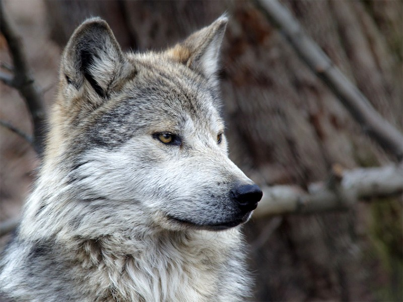 HD Quality Wallpaper | Collection: Animal, 800x600 Gray Wolf