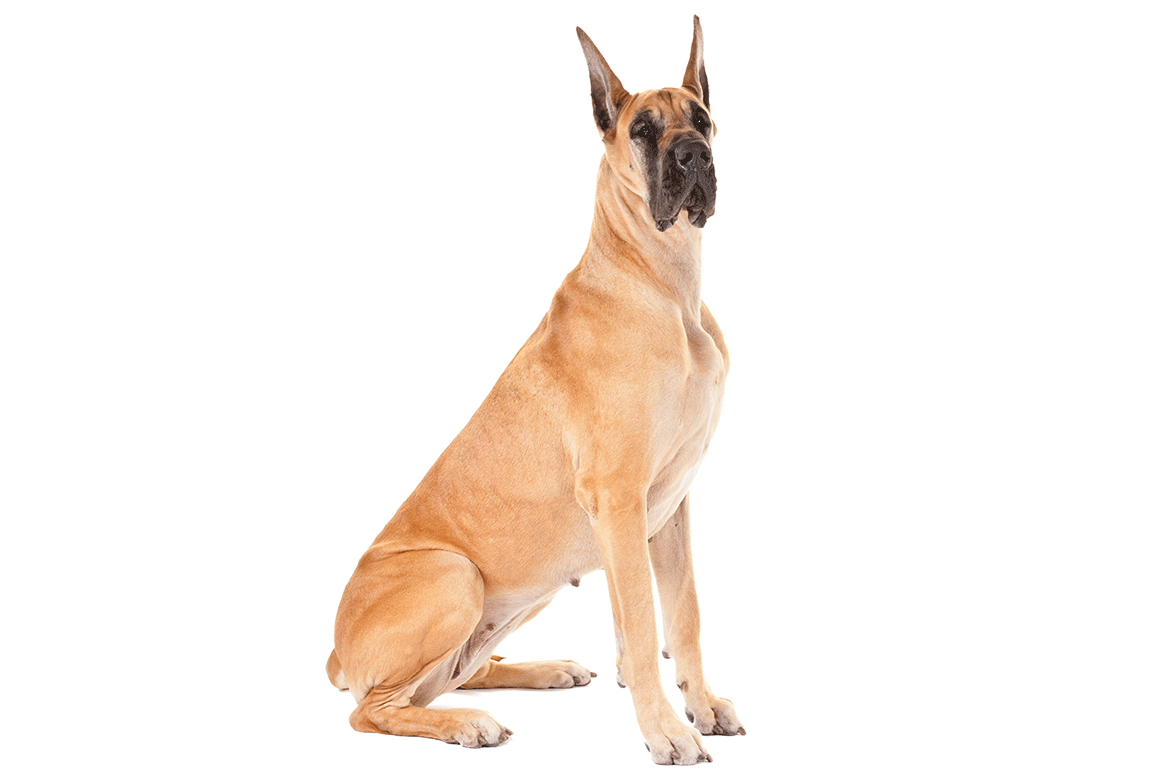 Great Dane Backgrounds on Wallpapers Vista