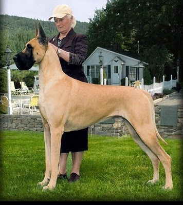 Images of Great Dane | 356x400