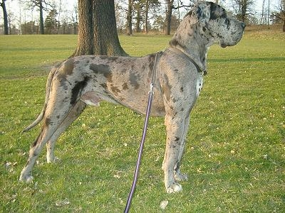 Amazing Great Dane Pictures & Backgrounds