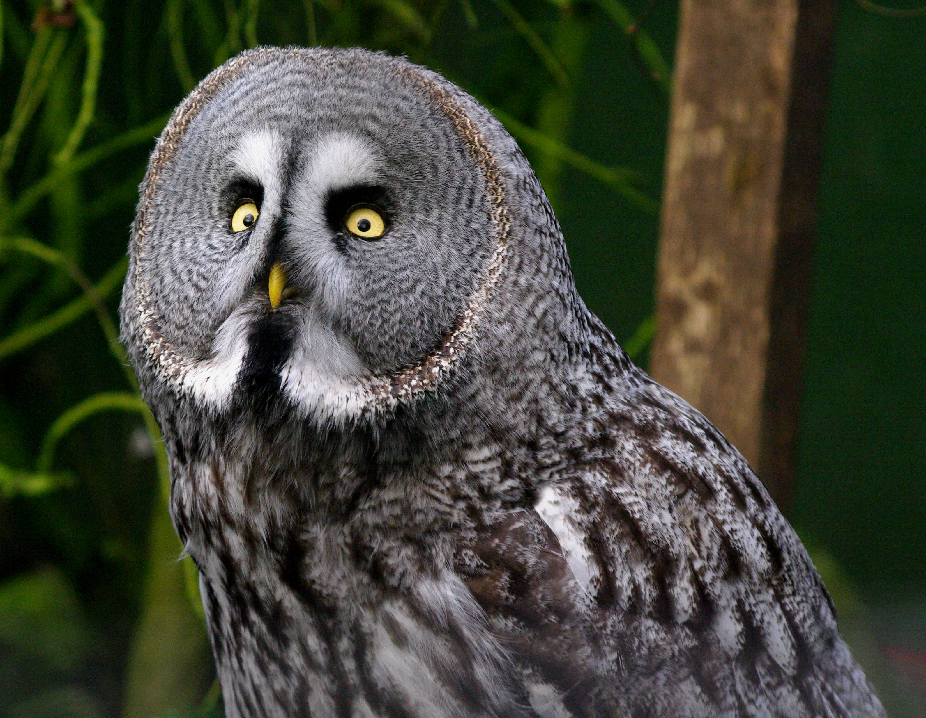 Great Grey Owl Pics, Animal Collection