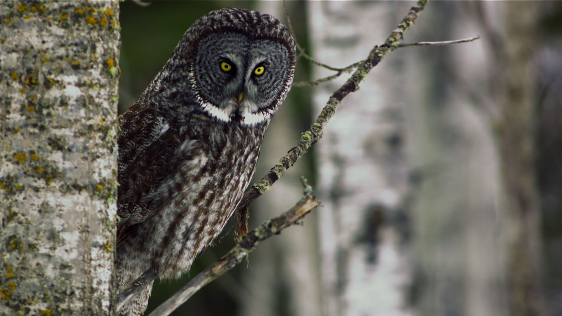 Nice wallpapers Great Grey Owl 1920x1080px