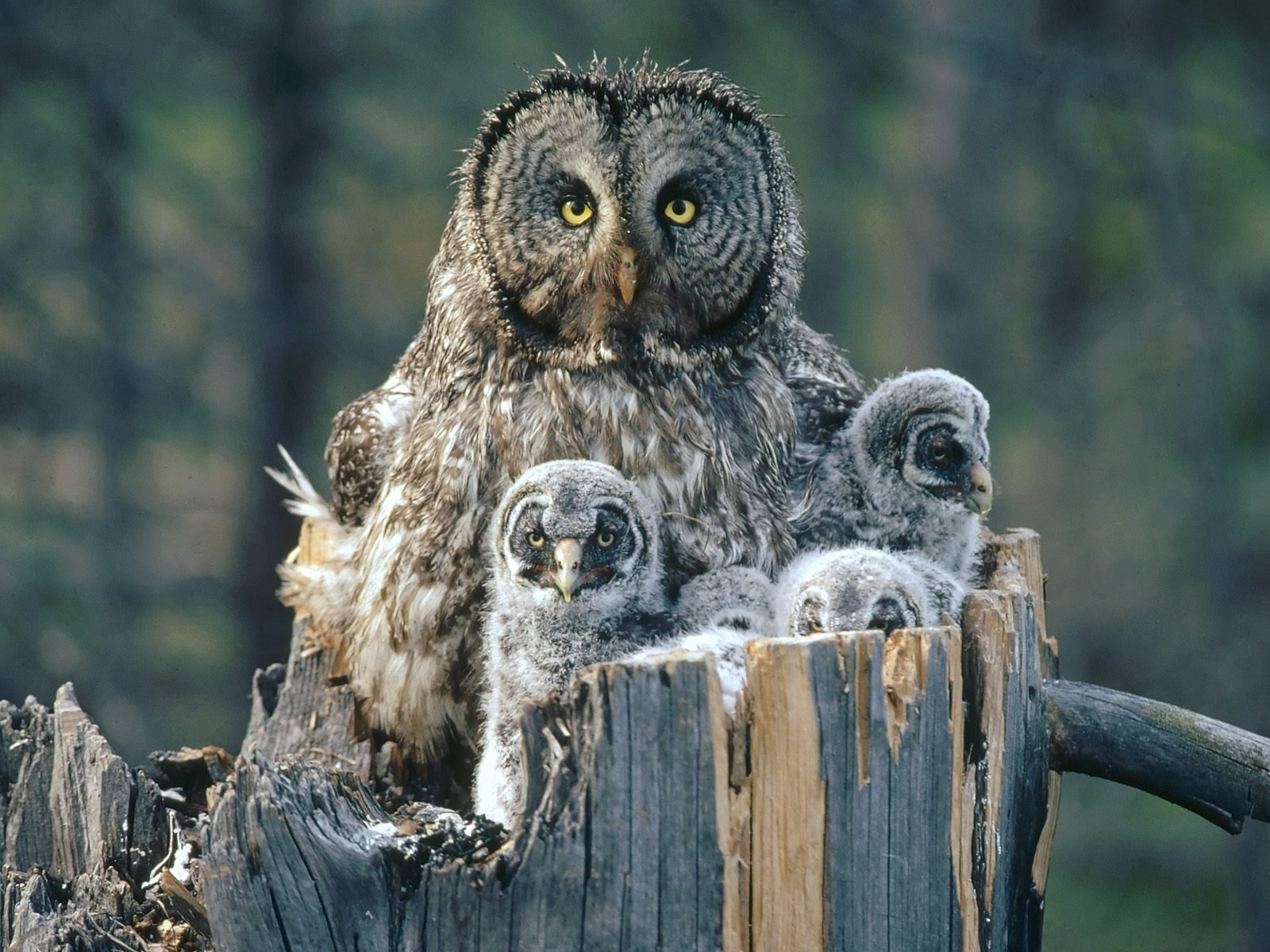HQ Great Grey Owl Wallpapers | File 337.96Kb