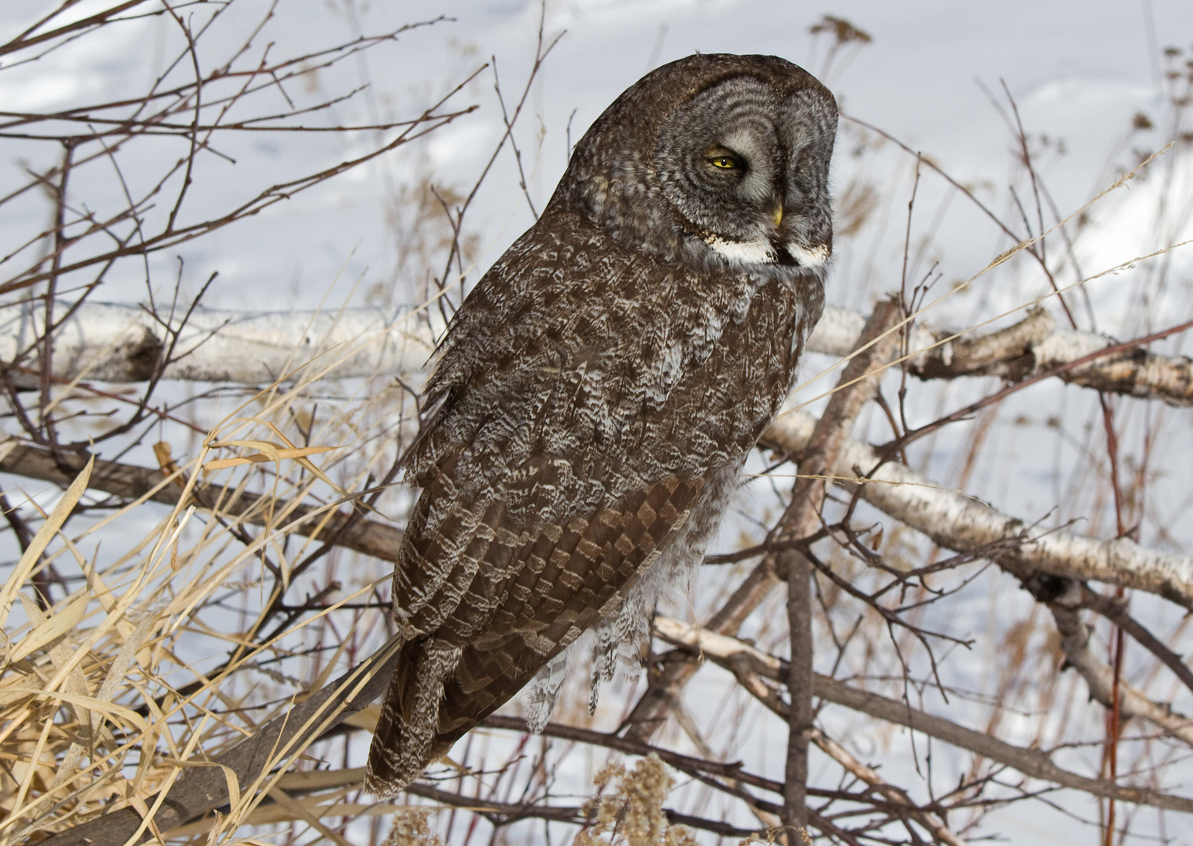 Amazing Great Grey Owl Pictures & Backgrounds