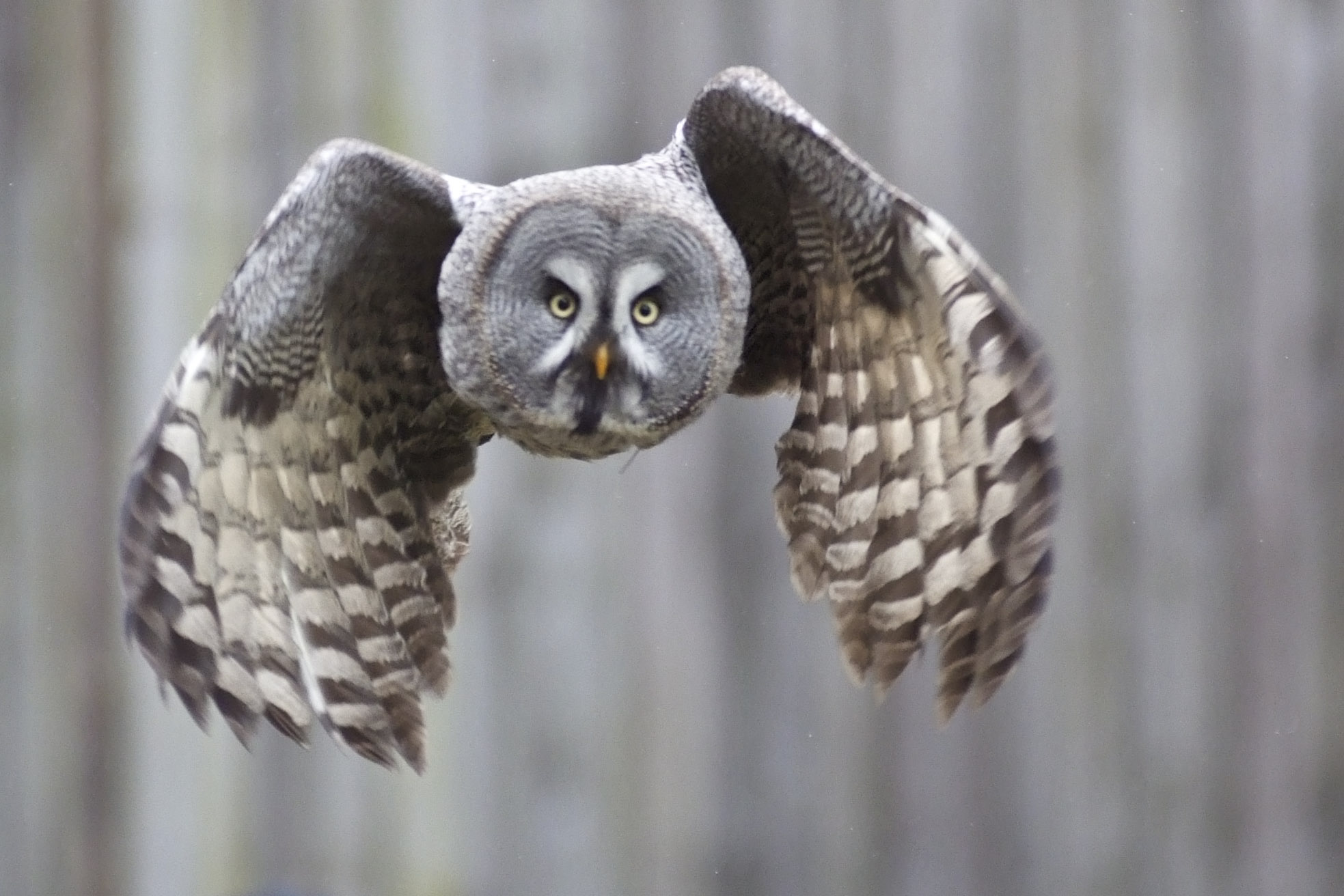 Great Grey Owl Backgrounds, Compatible - PC, Mobile, Gadgets| 1967x1312 px