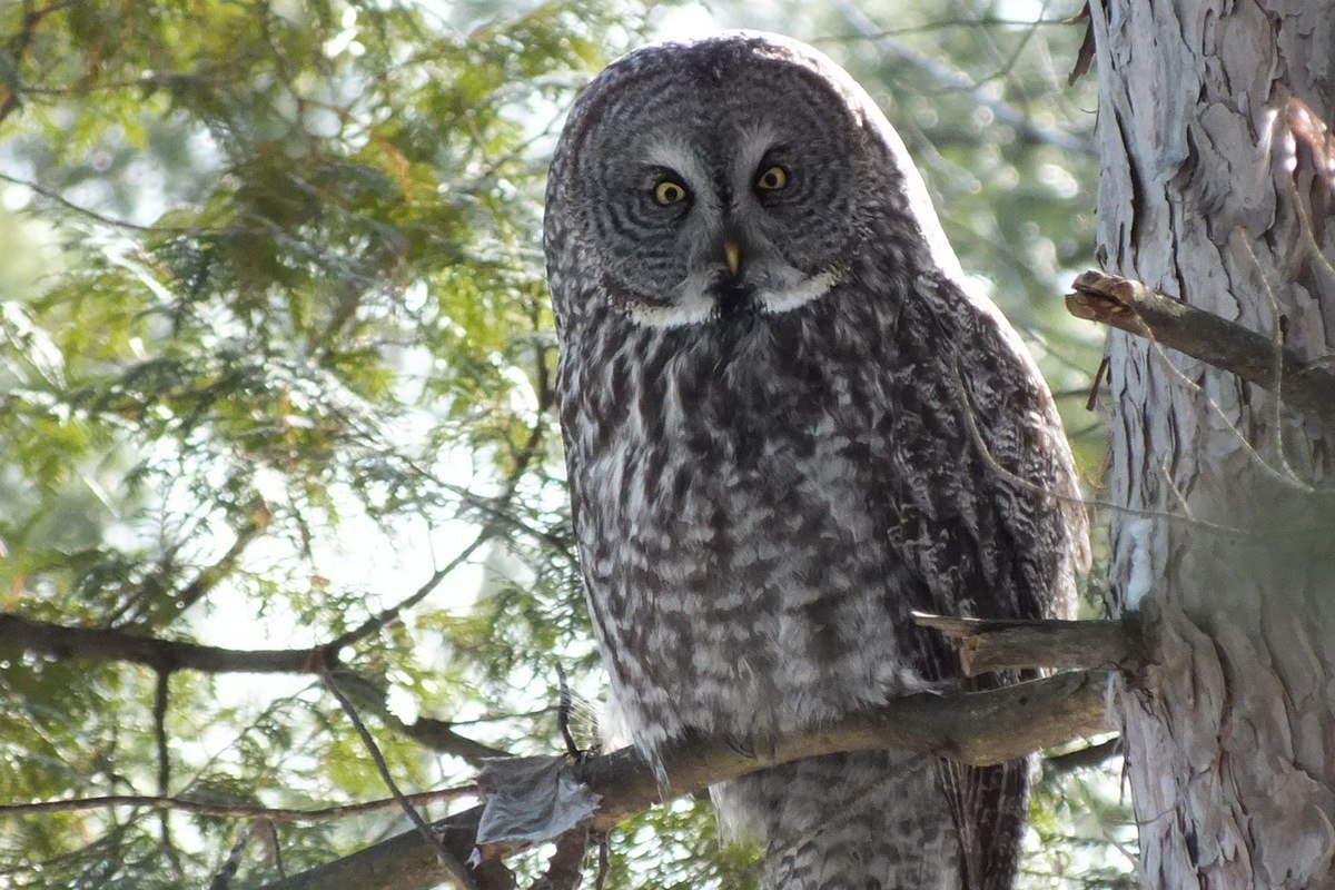 HD Quality Wallpaper | Collection: Animal, 1200x800 Great Grey Owl