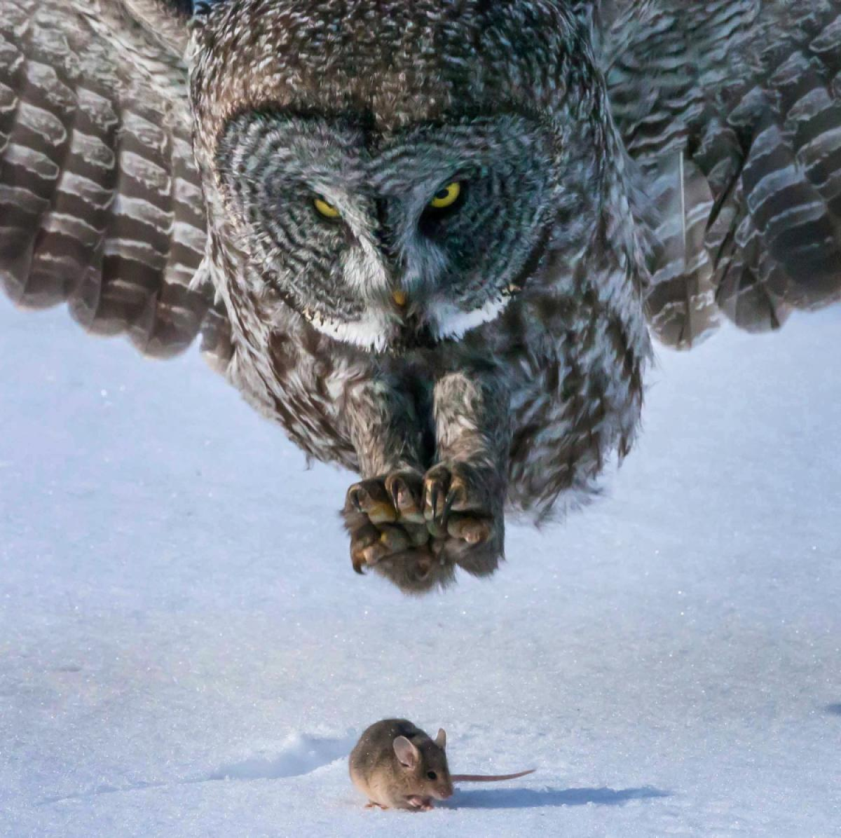 Great Grey Owl Backgrounds, Compatible - PC, Mobile, Gadgets| 1200x1196 px