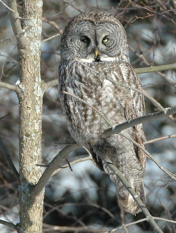 Nice wallpapers Great Grey Owl 569x754px