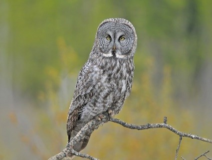 HQ Great Grey Owl Wallpapers | File 25.6Kb