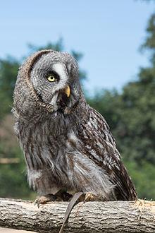 High Resolution Wallpaper | Great Grey Owl 220x330 px