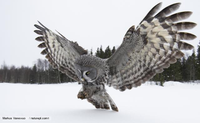 High Resolution Wallpaper | Great Grey Owl 640x395 px