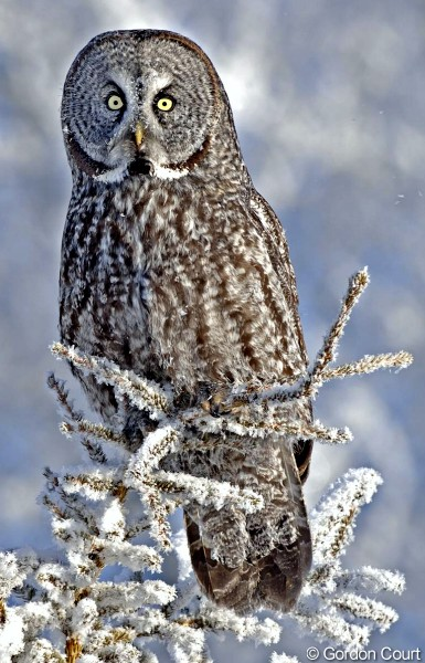 Great Grey Owl Backgrounds on Wallpapers Vista