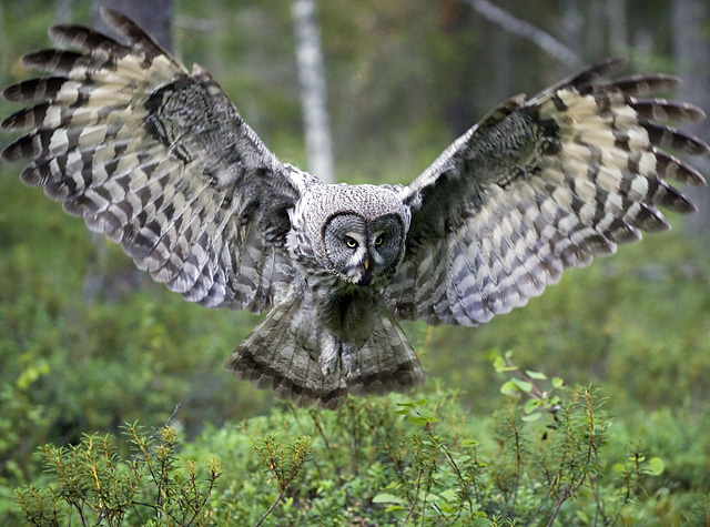 Images of Great Grey Owl | 640x475