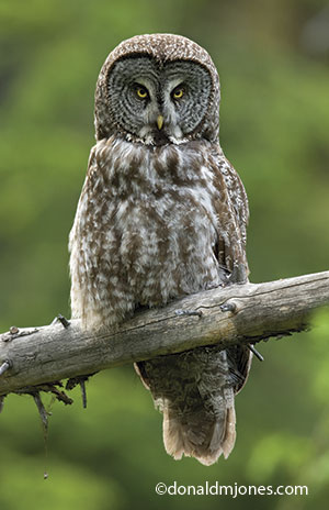 Nice Images Collection: Great Grey Owl Desktop Wallpapers