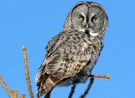 Nice wallpapers Great Grey Owl 275x200px