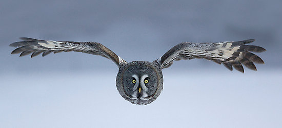 HD Quality Wallpaper | Collection: Animal, 550x251 Great Grey Owl