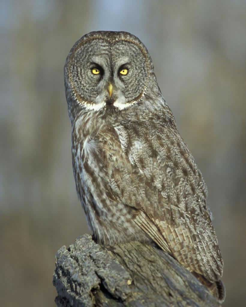 High Resolution Wallpaper | Great Grey Owl 820x1024 px