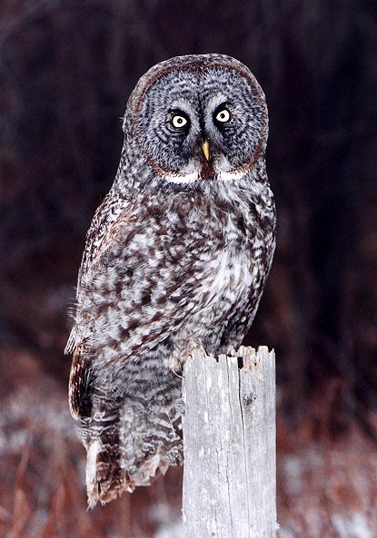 HD Quality Wallpaper | Collection: Animal, 415x593 Great Grey Owl