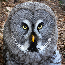 Nice wallpapers Great Grey Owl 220x220px