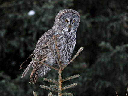 HQ Great Grey Owl Wallpapers | File 30.35Kb