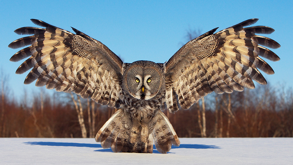 1024x576 > Great Grey Owl Wallpapers