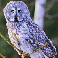 Great Grey Owl High Quality Background on Wallpapers Vista