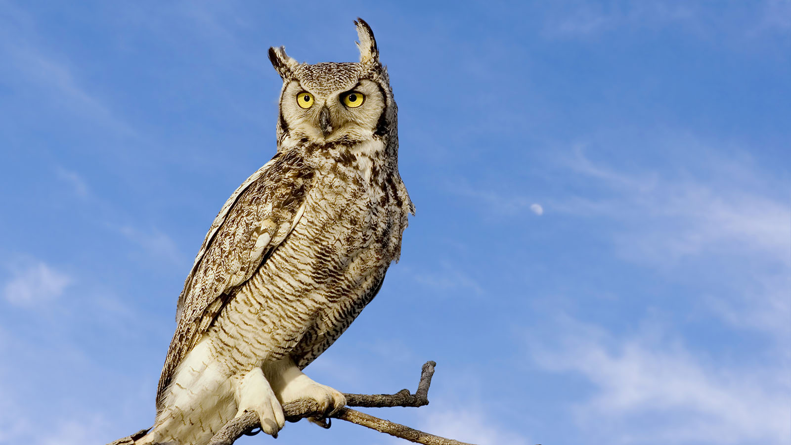 HD Quality Wallpaper | Collection: Animal, 1600x900 Great Horned Owl