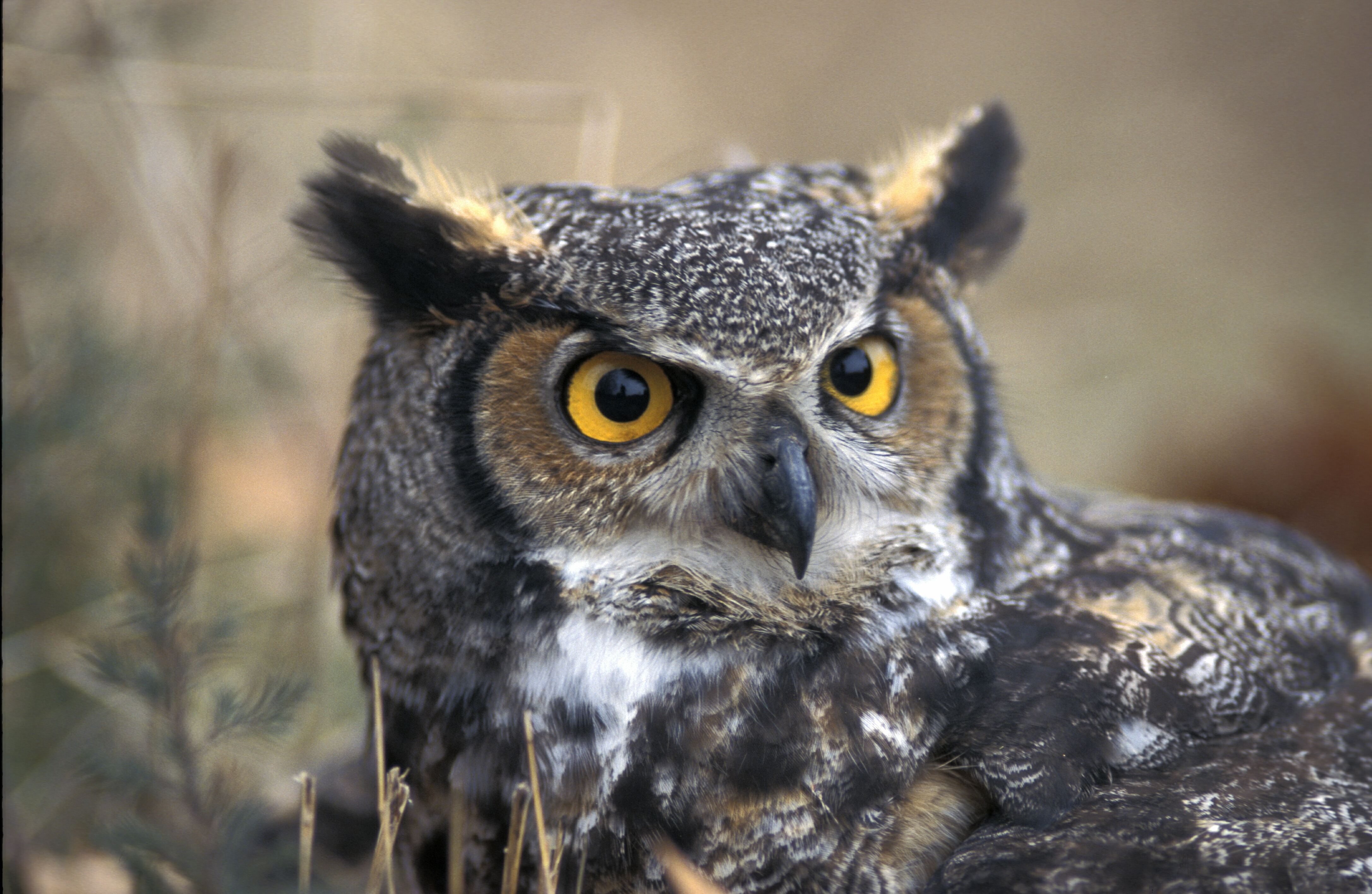 HD Quality Wallpaper | Collection: Animal, 4345x2830 Great Horned Owl