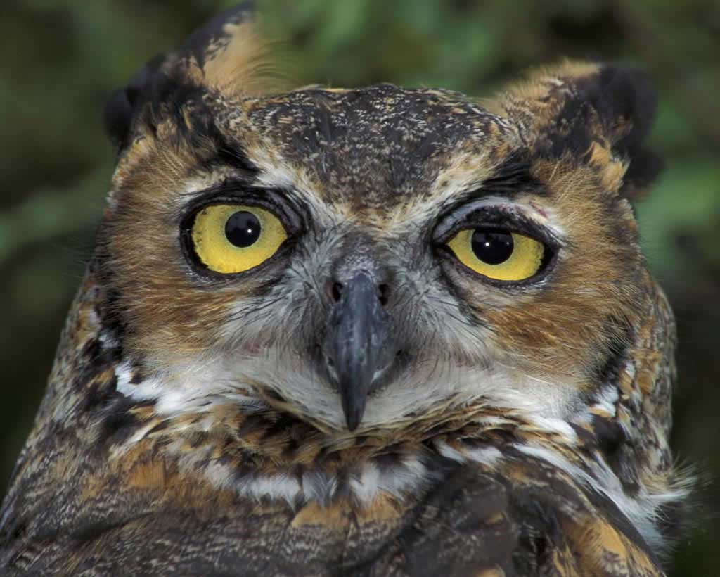 HQ Great Horned Owl Wallpapers | File 74.27Kb