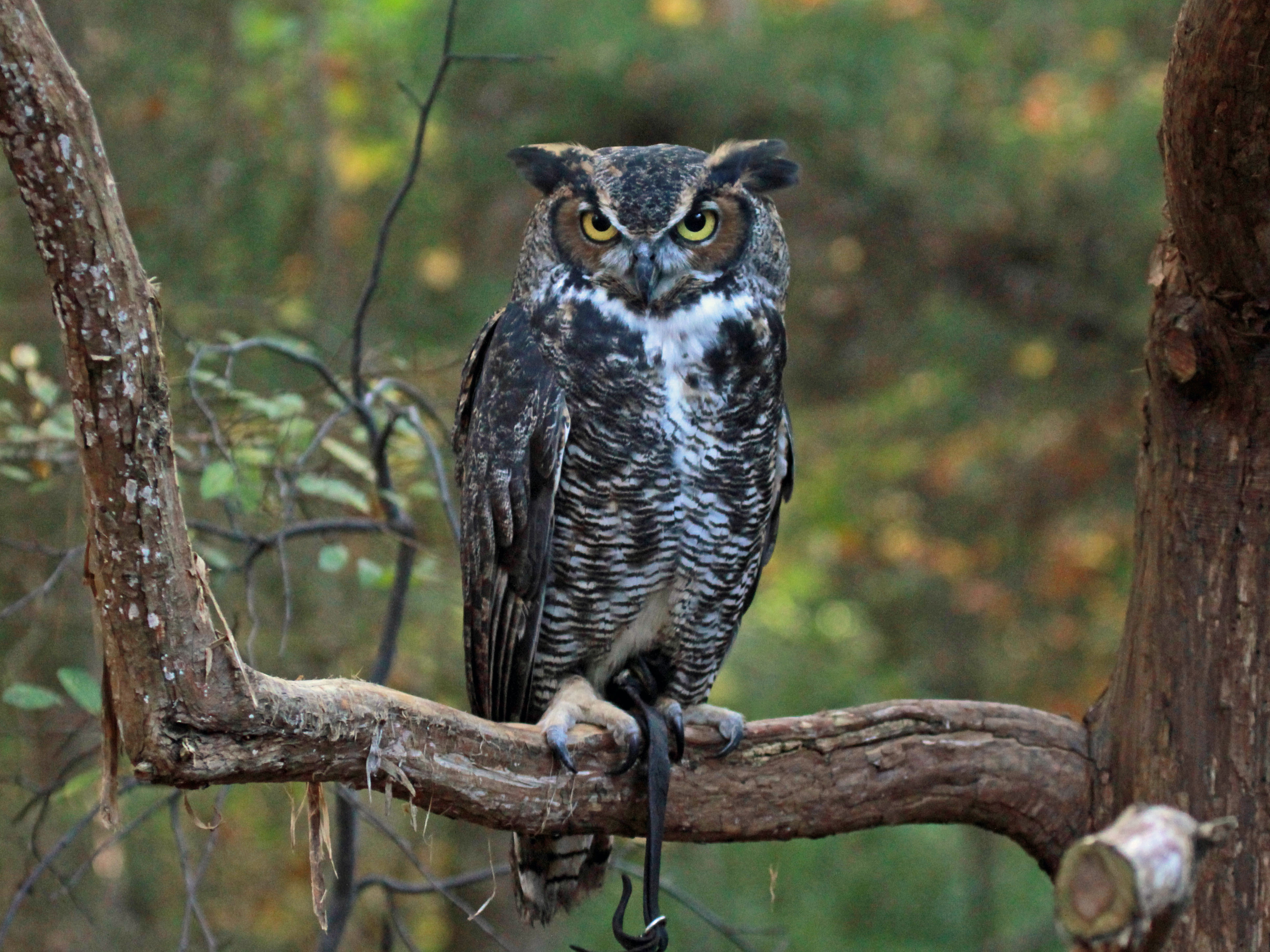 3859x2894 > Great Horned Owl Wallpapers