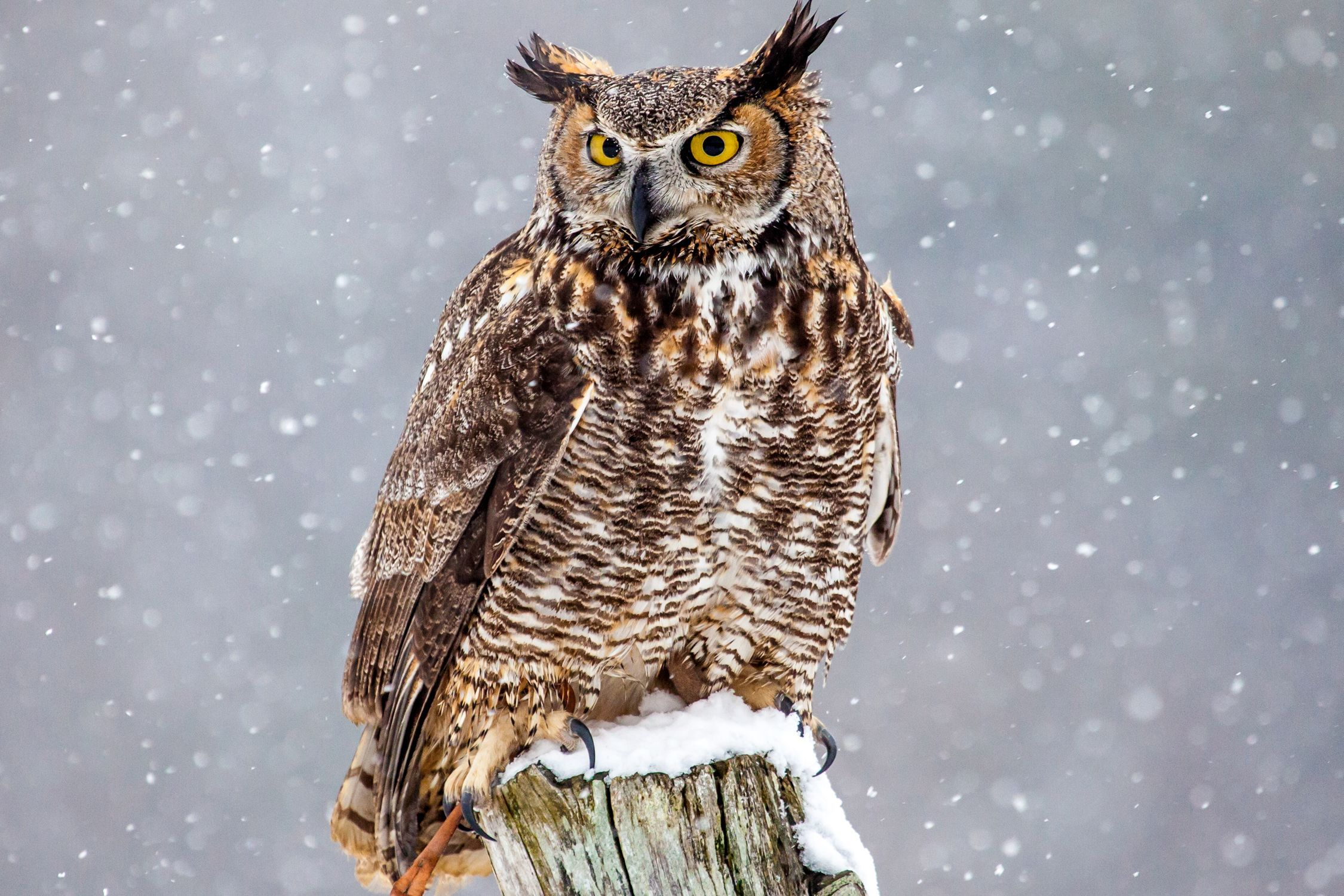 HQ Great Horned Owl Wallpapers | File 508.65Kb